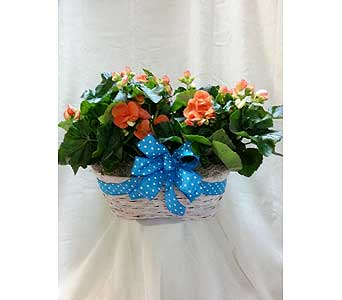 Double Begonia Basket in Lubbock TX, Sharp's Flowers