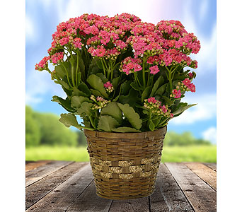 Kalanchoe Plant in Dallas TX, In Bloom Flowers, Gifts and More