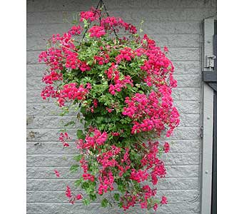 Ivy Geranium Hanging Basket 10� in Owego NY, Ye Old Country Florist
