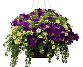 Hanging Basket 12 in Owego NY, Ye Old Country Florist