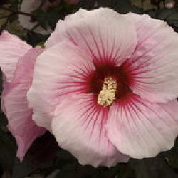 Hibiscus Rose Mallow/�Summerific Perfect Storm� in Waukegan IL, Larsen Florist