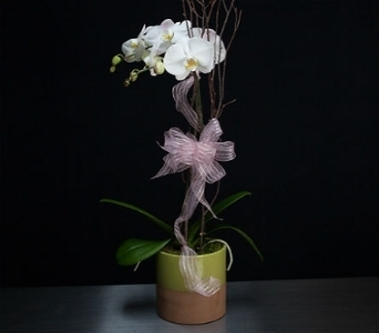 Phalaenopsis Orchid in La Jolla CA, Adelaide's Florists and Decorators