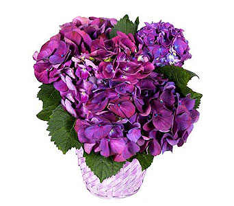 Purple Hydrangea in Ft. Lauderdale FL, Jim Threlkel Florist