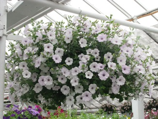 Deluxe Petunia Hanging Basket in Crystal Lake IL, Countryside Flower Shop