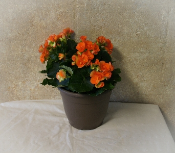 Springtime Porch Pot - Begonia in Port Huron MI, Ullenbruch's Flowers & Gifts