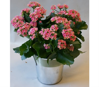 Beautiful Kalanchoe in Victoria BC, Fine Floral Designs