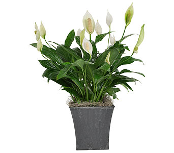 Peace Lily in a Slate Grey Pot in Madison WI, Felly's Flowers