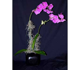 Enchanted Orchid in Albuquerque NM, Silver Springs Floral & Gift