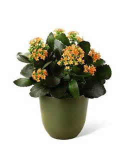 Kalanchoe in Daly City CA, Mission Flowers