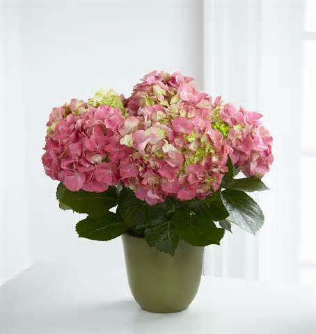 Pink Hydrangea in Daly City CA, Mission Flowers
