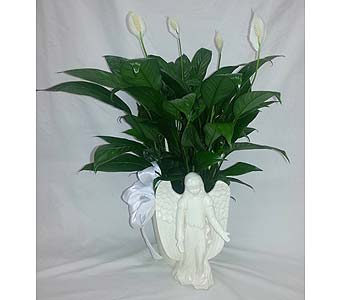 Angelic Peace Lily in Elkton MD, Fair Hill Florists
