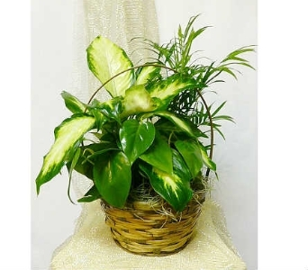 Indoor Green Plant Basket in Warren MI, Downing's Flowers & Gifts Inc.
