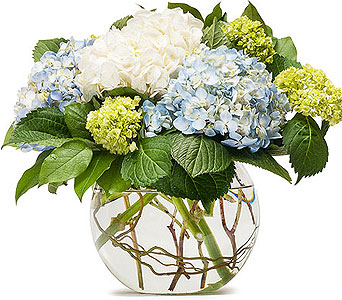 Mighty Hydrangea in South Hadley MA, Carey's Flowers, Inc.