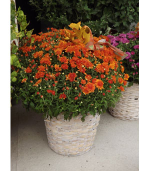 Mum Plant in Manhasset NY, Town & Country Flowers