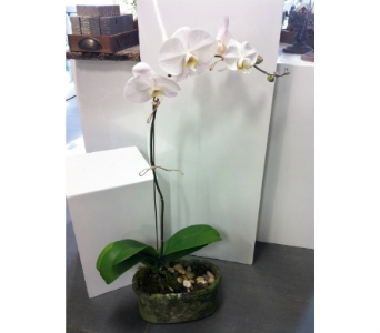 Vintage Orchid Plant in Thornhill ON, Orchid Florist