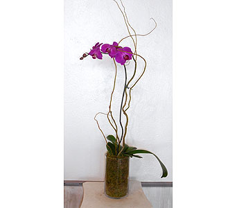 Orchid Plant 2 in Dallas TX, Petals & Stems Florist
