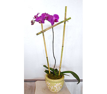 Orchid Plant 4 in Dallas TX, Petals & Stems Florist