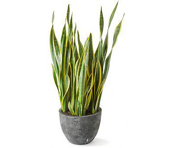 Sansevieria in Palm Springs CA, Palm Springs Florist, Inc.