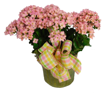 Kalanchoe in Decorative Container in Little Rock AR, Tipton & Hurst, Inc.