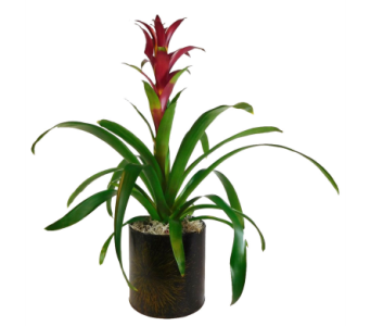 Bromeliad in Decorative Container in Little Rock AR, Tipton & Hurst, Inc.