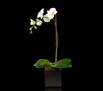 White Single Stem Orchid in Black Cube in Miami Beach FL, Pistils & Petals