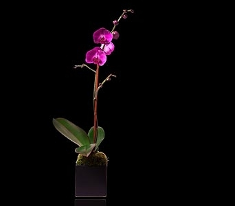 Pink Single Stem Orchid in Black Cube in Miami Beach FL, Pistils & Petals