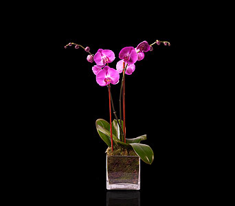 Pink Double Orchid in Glass in Miami Beach FL, Pistils & Petals