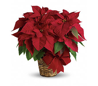 Red Poinsettia in New York NY, Fellan Florists Floral Galleria