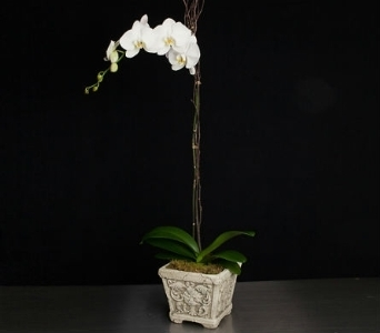 White Phalaenopsis in La Jolla CA, Adelaide's Florists and Decorators