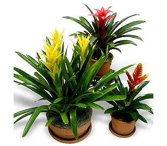 Exotic Bromeliad in La Jolla CA, Adelaide's Florists and Decorators