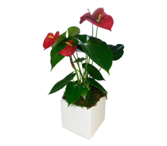 Anthurium Plant in Decorative Container in Little Rock AR, Tipton & Hurst, Inc.