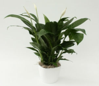 Peace Lily in Ceramic Pot  in Grimsby ON, Cole's Florist Inc.