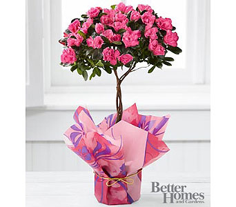 Azalea Topiary in Kennebunk ME, Blooms & Heirlooms ��