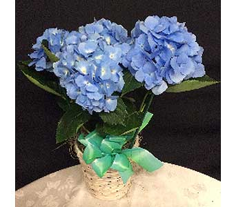 Beautiful Blue Hydrangea in Oakland CA, J. Miller Flowers and Gifts