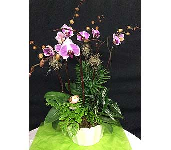 Fabulous Phalaenopsis Orchid Plant - Beautiful for your home or office in Oakland CA, J. Miller Flowers and Gifts
