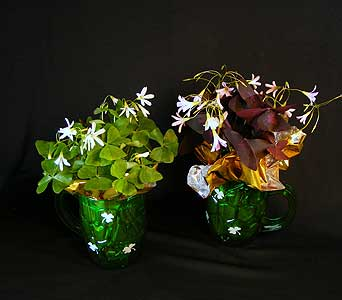 Potted Shamrock Oxalis plants in Ferndale MI, Blumz...by JRDesigns