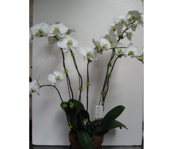 White Orchid Plant in Blue Bell PA, Country Flower Shoppe