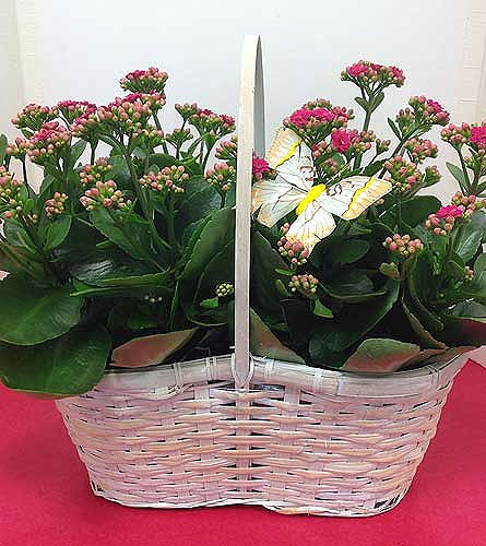 Kalanchoe Plants in Manhasset NY, Town & Country Flowers