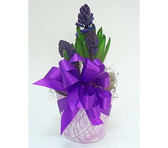 Hyacinth Bulb Plant in Indianapolis IN, Gillespie Florists