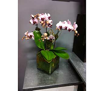 Contemporary Orchid Plant - Double Medium in Thornhill ON, Orchid Florist
