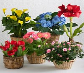 BLOOMING PLANT PROGRAM in Arizona, AZ, Fresh Bloomers Flowers & Gifts, Inc
