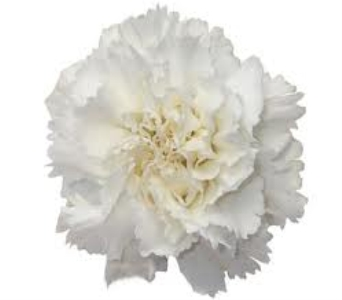 White Carnation in Mount Dora FL, Claudia's Pearl Florist
