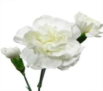 White Mini Carnation in Mount Dora FL, Claudia's Pearl Florist
