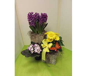 Blooming Plant Assortment in Manhasset NY, Town & Country Flowers