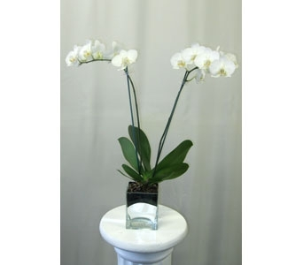 Phalaenopsis Orchid in Silver Glass Cube in Wyoming MI, Wyoming Stuyvesant Floral