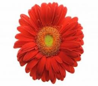 Red Gerbera in Mount Dora FL, Claudia's Pearl Florist