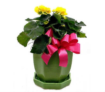 Steve's Begonia Plant in Indianapolis IN, Steve's Flowers and Gifts
