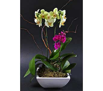 Opulent Orchids in Kingston ON, Pam's Flower Garden