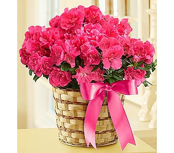 Pretty in Pink Azalea in Sevierville TN, From The Heart Flowers & Gifts