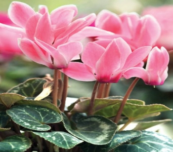 CYCLAMEN PLANT in Gibsons BC, Gibsons Florist, Ltd.